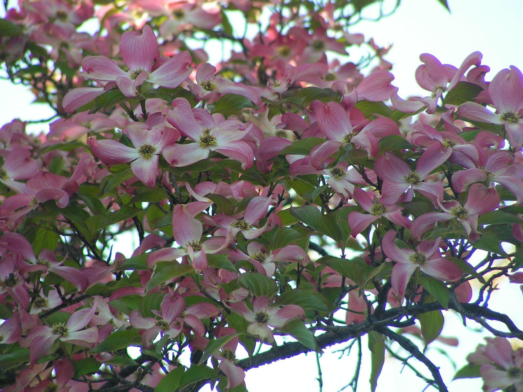 Stellar Pink Dogwood Flowering Trees Pinterest Pink Dogwood