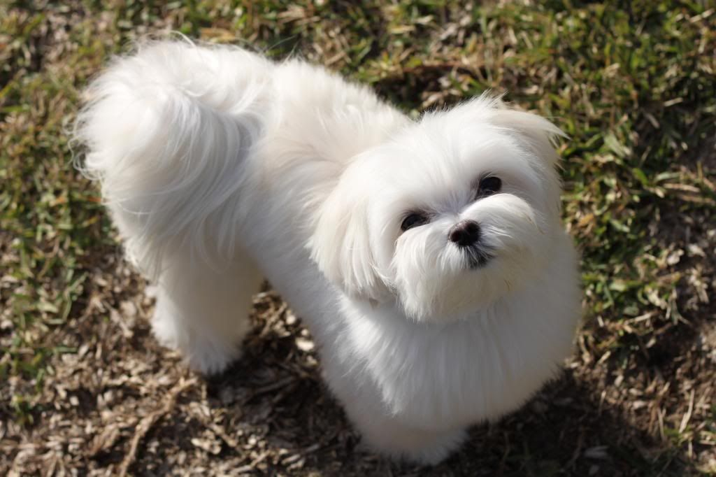 Pin By Curtis Allred On Grooming Maltese Dogs Maltese Breed Maltese Dogs Haircuts