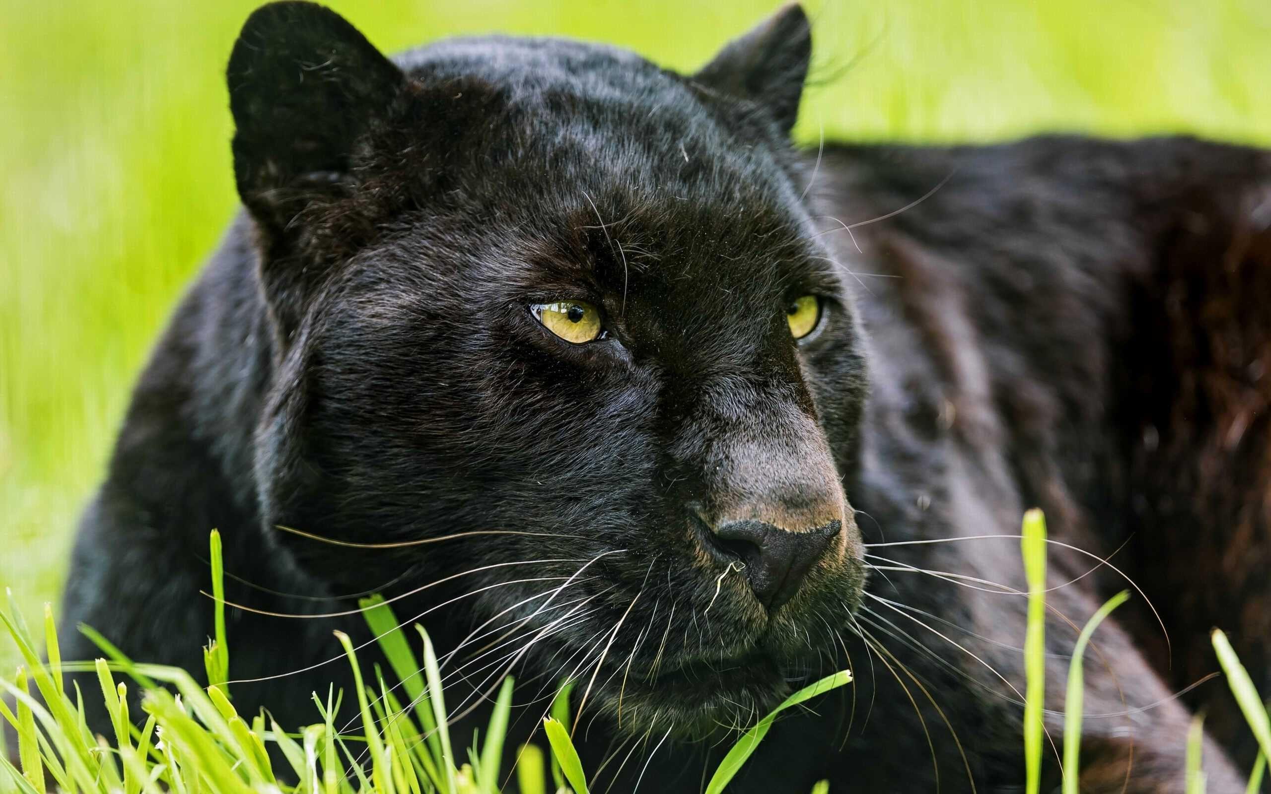 Black jaguar animal anyuta beautiful creatures cats pinterest black jaguar animal anyuta voltagebd Images