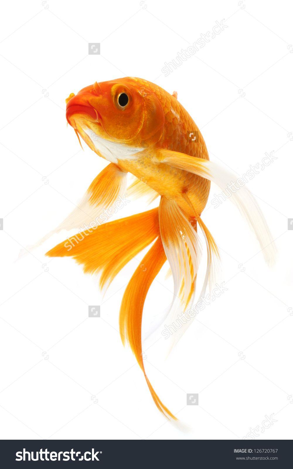 Koi from front penelusuran google koi fish fish art - Carp wallpaper iphone ...
