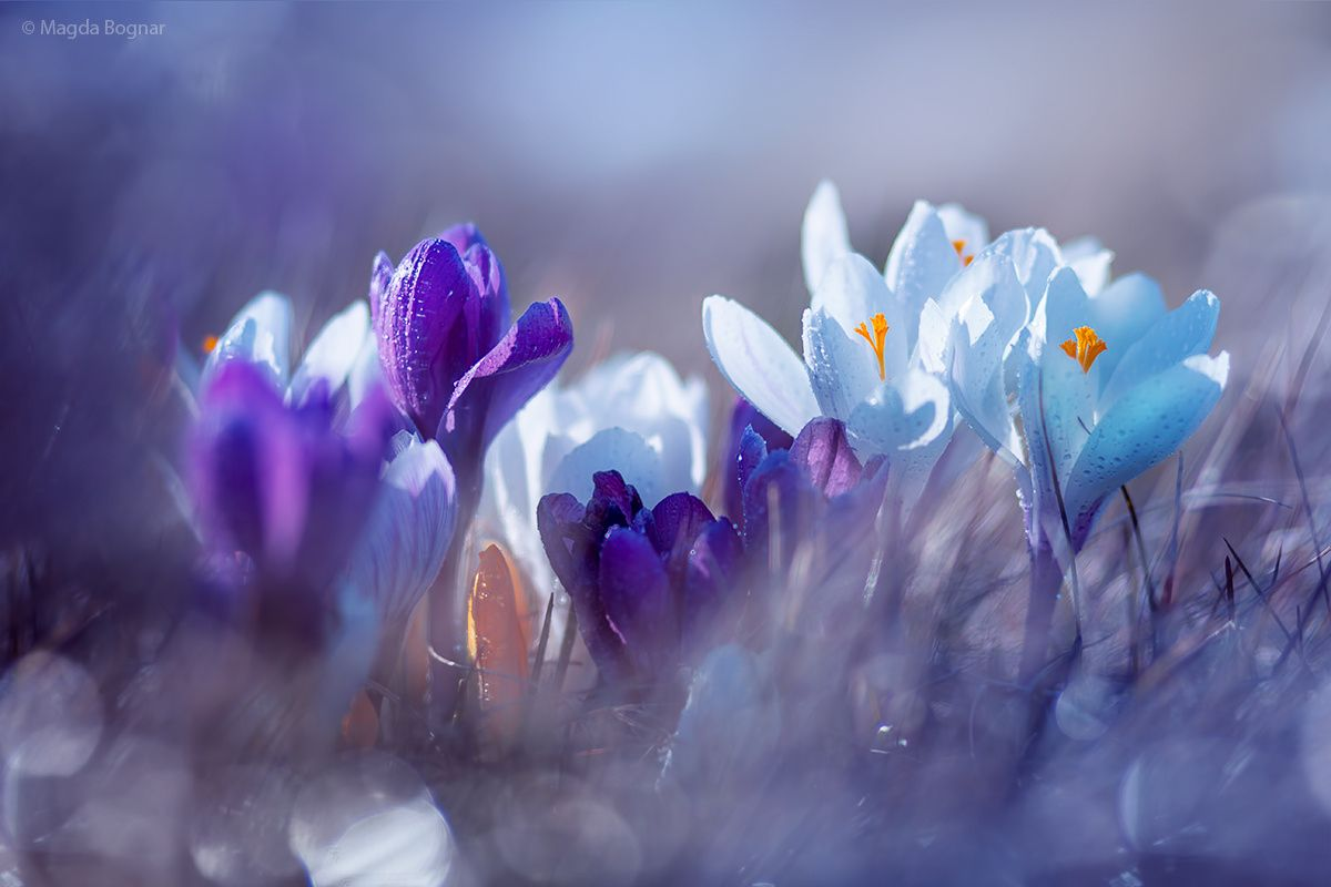 """Crocuses - If you are interested please visit my work here: <a href=""""https://www.facebook.com/magdabognarphotography""""> Facebook Page</a>"""