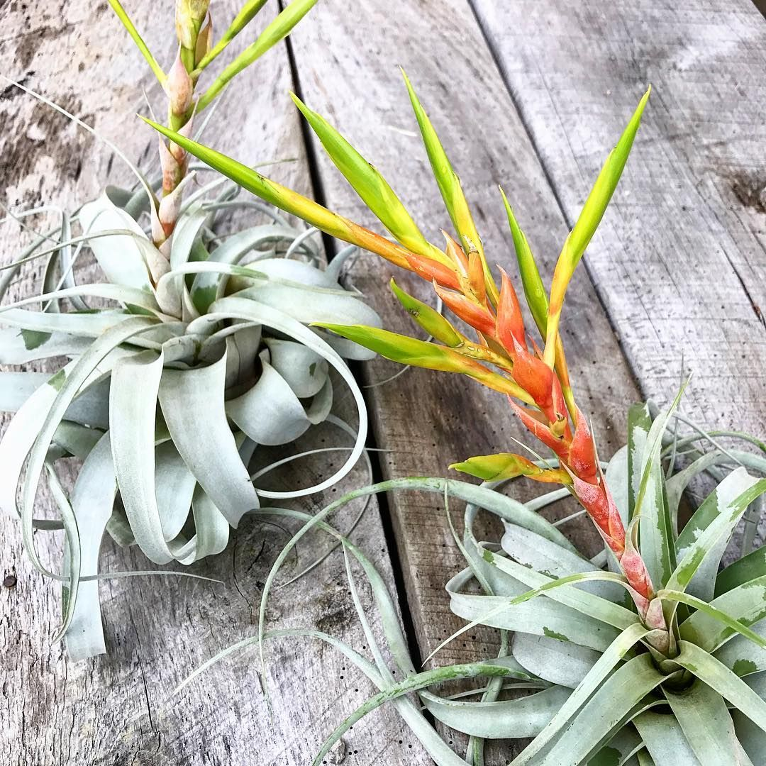 Tillandsia Xerographica In Spike These Big Beauties Should Start Growing Pups Soon Plants Air Plants Plant Design