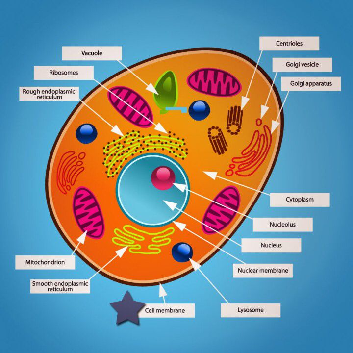 This Is A Detailed Diagram Of An Animal Cell