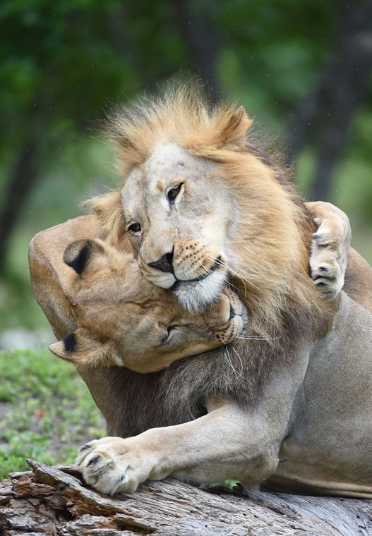 "Ron Magill -  ""Kashifa,"" the adult female lioness, warmly welcomes ""Jabari"" the adult male back to the pride."