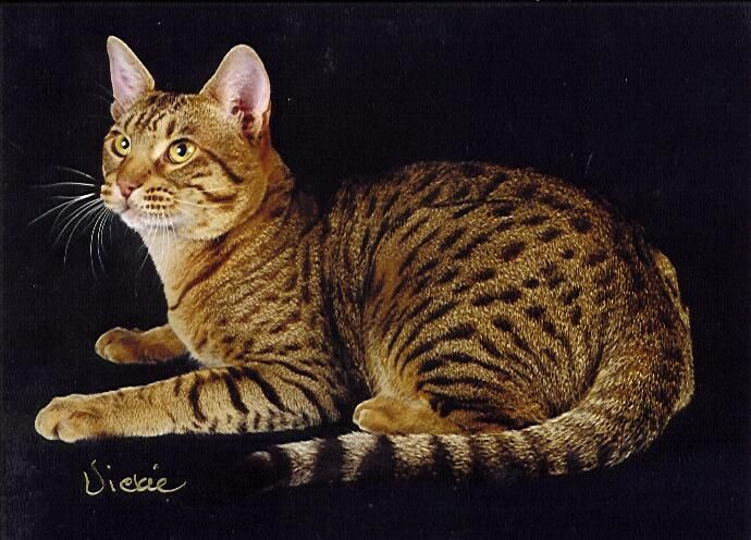 golden ocicat 6th best ocicat kitten cfa s best tawny ocicat