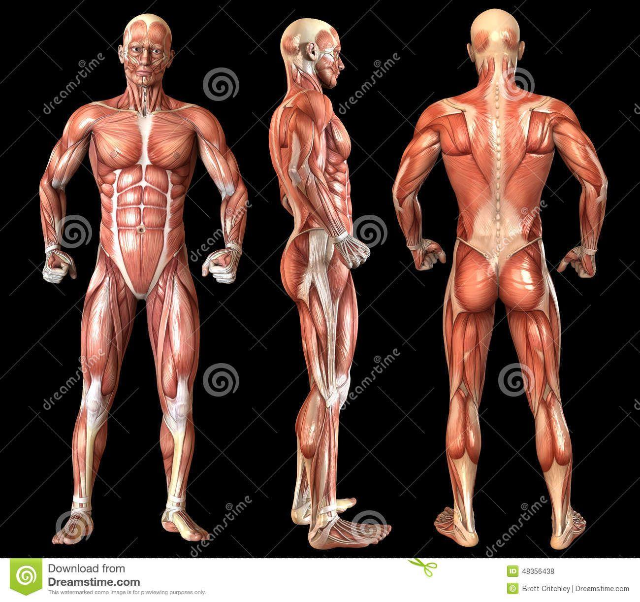 Resultado de imagen para tronco humano con musculos | Dibujos ...