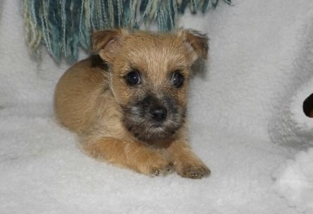 Adorable Cairn Terrier Puppies ready for their new home