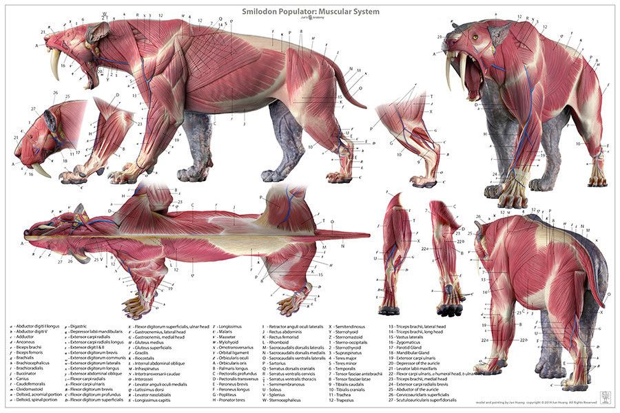 Smilodon anatomy model, and smilodon anatomy chart, available at www ...