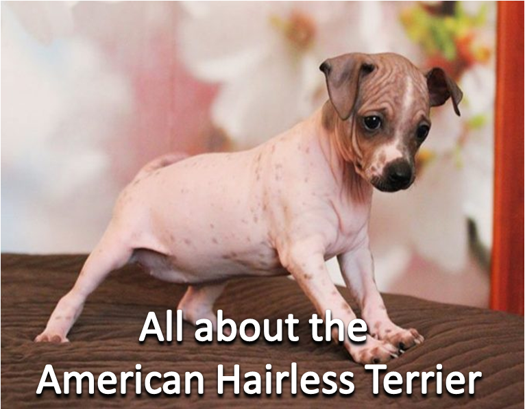 All about the American Hairless Terrier Hairless dog