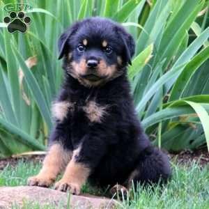 Rottweiler Puppy In Narvon Pa Bulldogfrances In 2020 Rottweiler Puppies For Sale Baby Rottweiler Rottweiler Breed