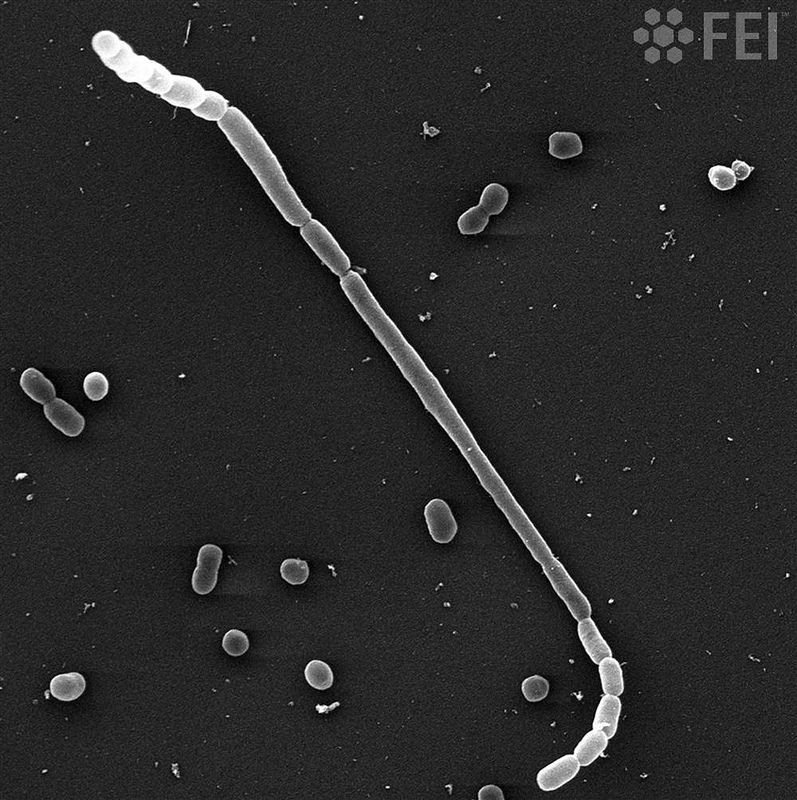 Bacterial Snake   The fish pathogen Photobacterium damselae subsp. piscicida showing an abnormal elongated form wich resembles a snake  Courtesy of Mrs. Ana Franco