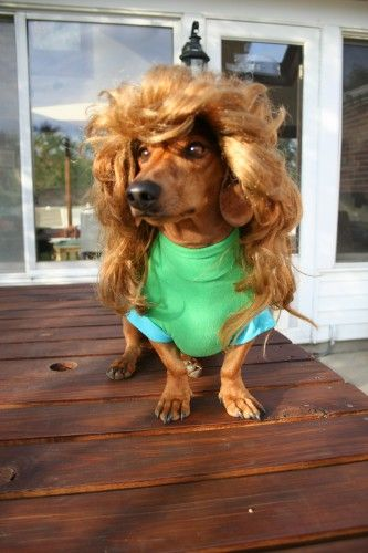 Halloween Mullet Mullets Dachshund Chihuahua Mix
