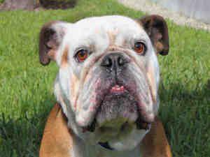 Immie Is An Adoptable English Bulldog Dog In West Palm Beach Fl