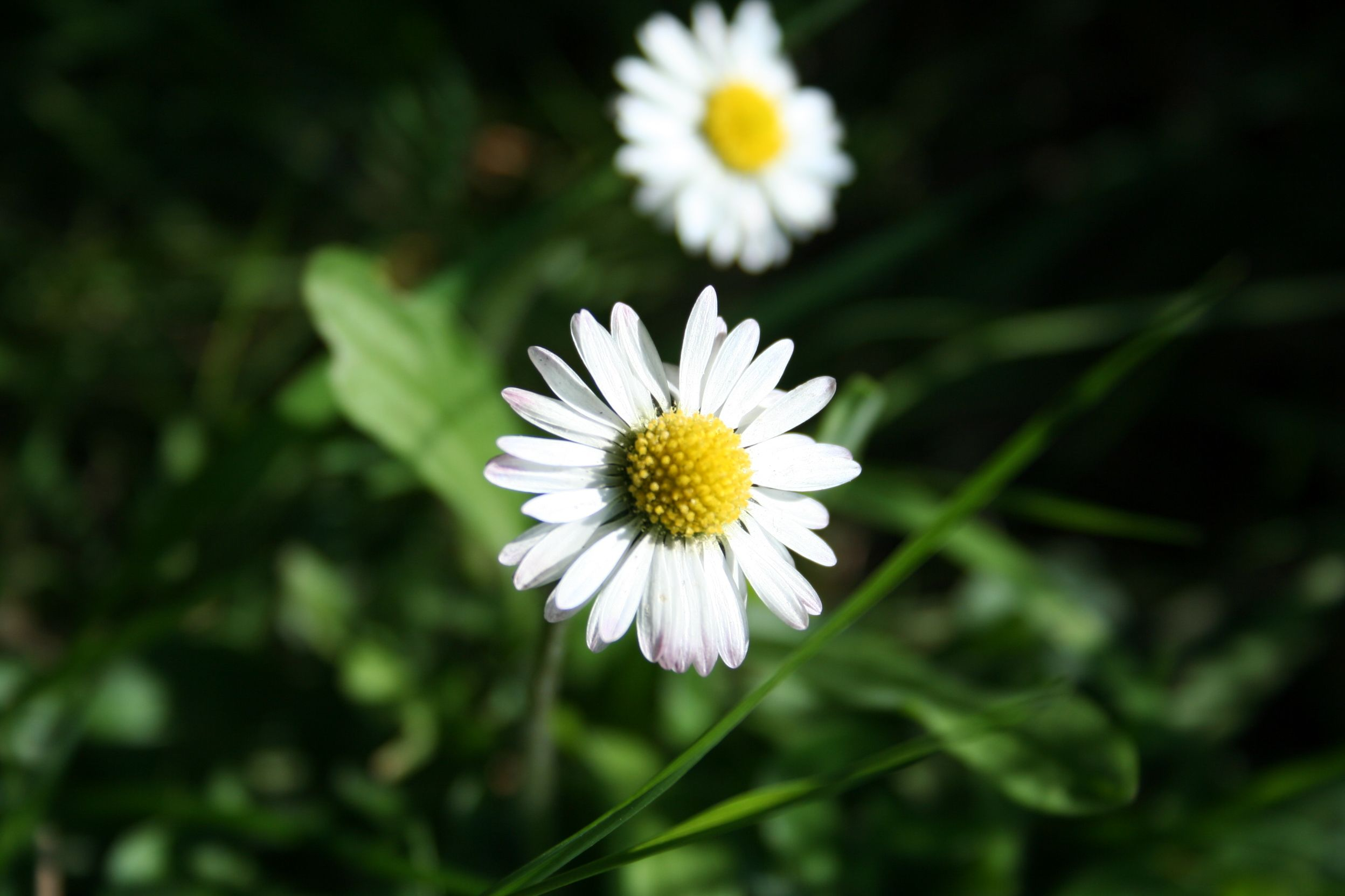 Birth Month April Daisy symbolizes innocence and purity