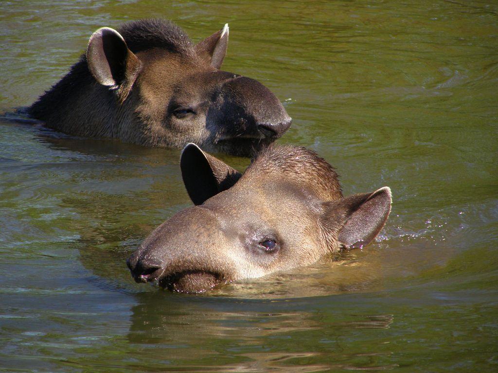 Page not found Bizarre animals, Tapir, Animals