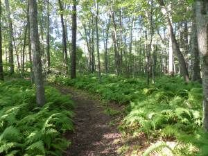 Lush ferns of summer flourish in the woodland at the edge of Moosehill Farm, Sharon, MA, one of many properties managed by Trustees of the Reservation. Easy walking paths, clearly marked--worth the trip.