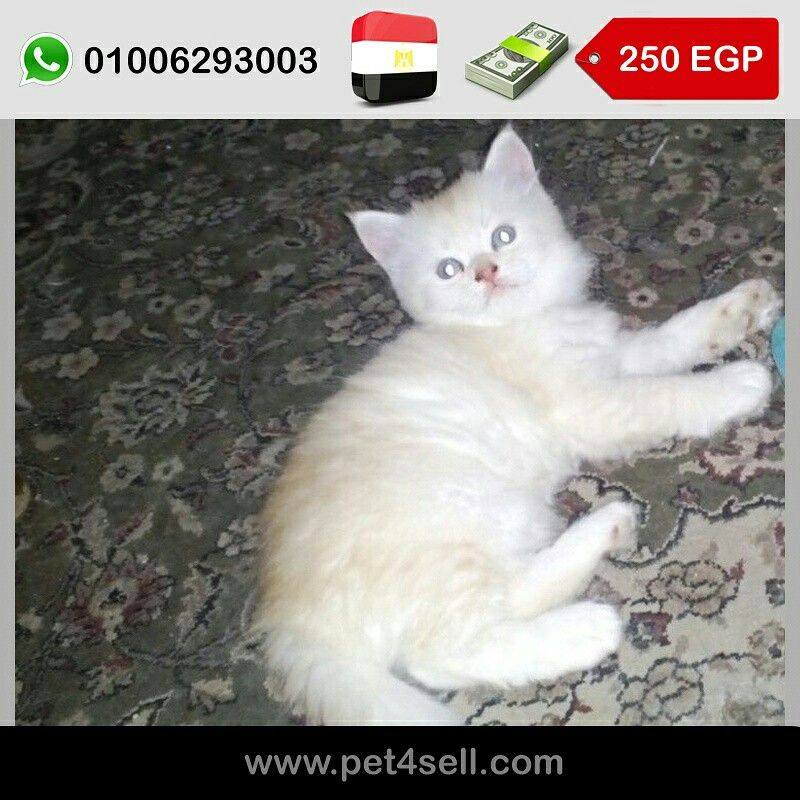 Egypt Cairo For Sale 2 Male 1 Month And A Half Sherazy Pure Pet4sell Cats Animals Egypt