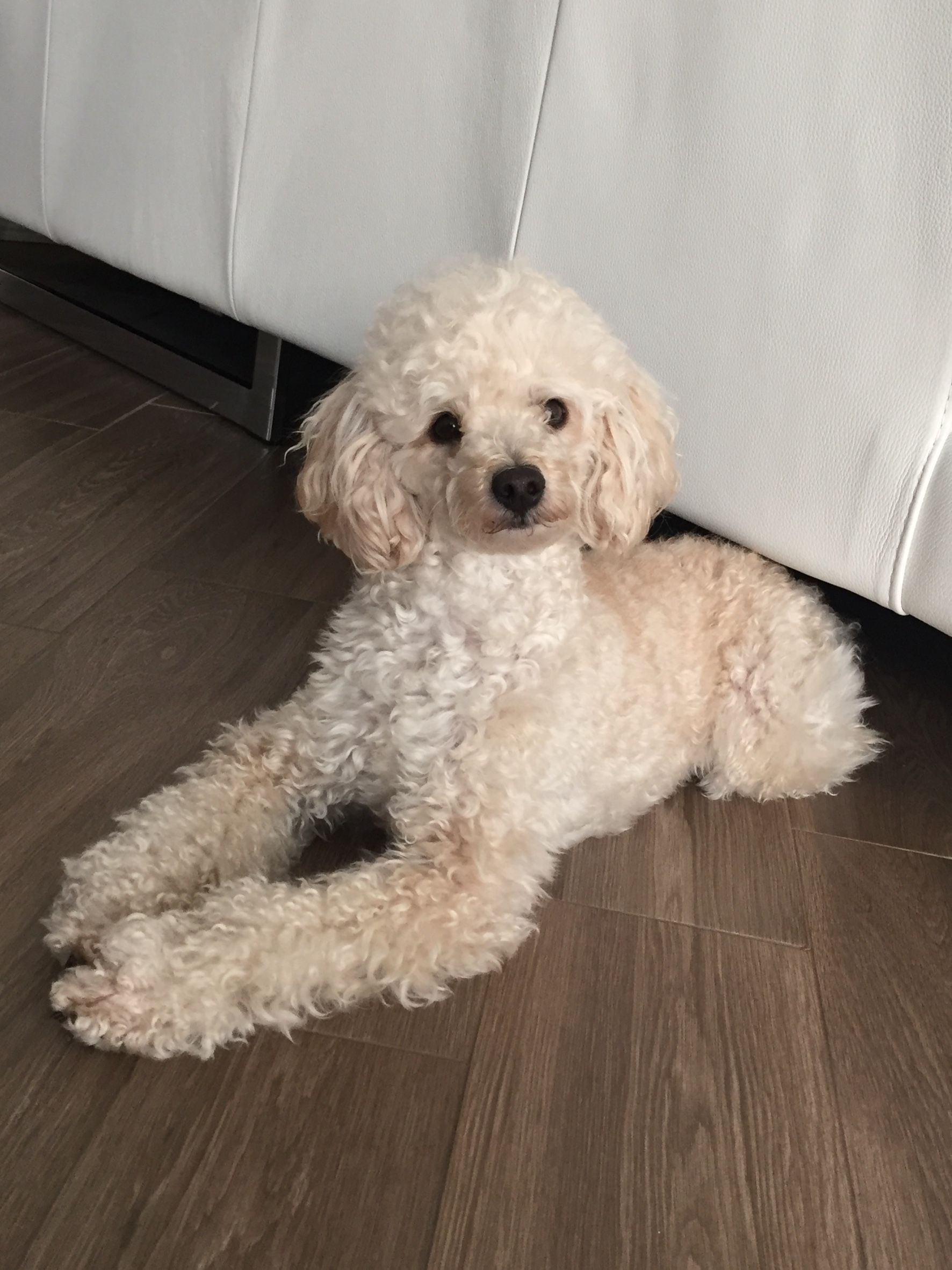 Hello Long Legs Poodle Haircut Toy Poodle Poodle