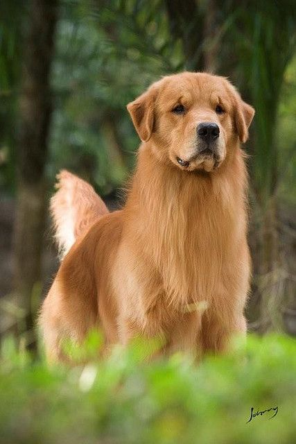 Golden Retriever Dog Love Cute Dogs Puppy Stages