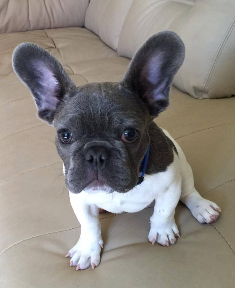 Black Head And White Body Gorgeous French Bulldog Puppy