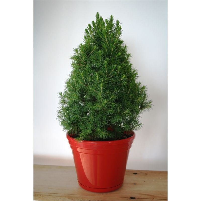 Plant-Picea 200mm Glauca Christmas Star I/N 3560939 | Bunnings Warehouse - Plant-Picea 200mm Glauca Christmas Star I/N 3560939 Bunnings