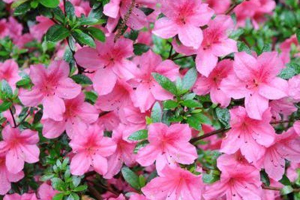 List Of Flowering Evergreen Shrubs Ehow Evergreen Shrubs Azalea Flower Poisonous Plants