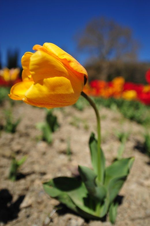 Tulpe. Quelle: Wochenende · Reisen · Tierwelt · Tourismus · Urlaub · Natur · Touren