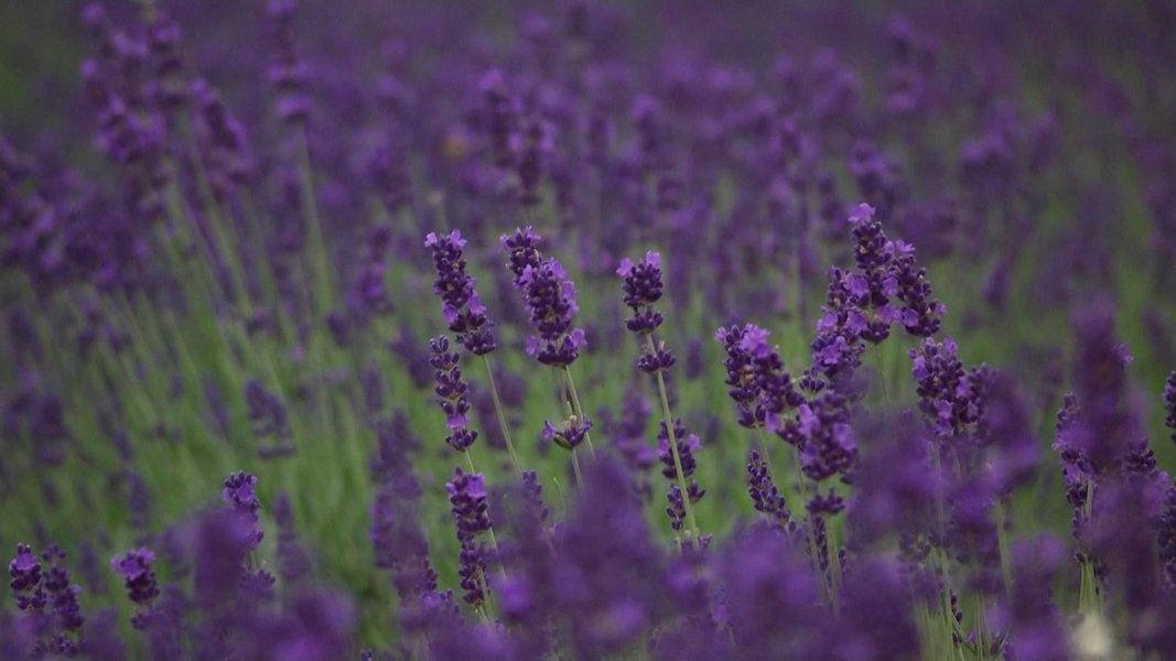 Lavendel Als Heilpflanze Verwenden Heilpflanzen Lavendel Echter Lavendel