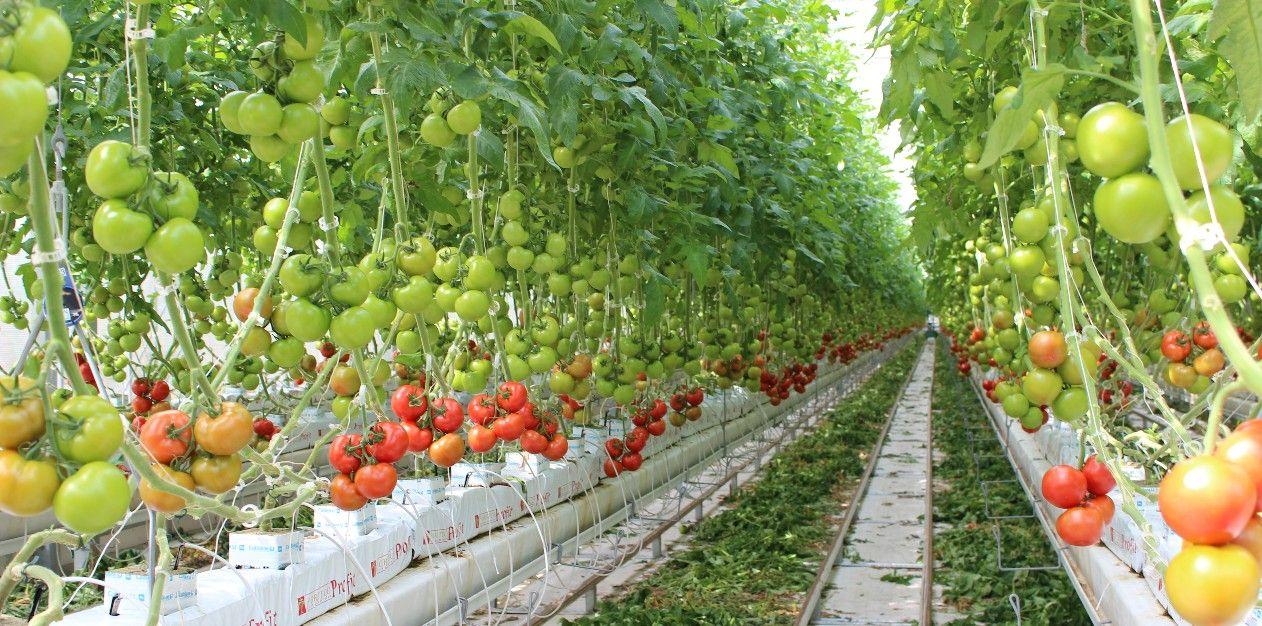 Planting a tomato in the open ground and a greenhouse. Tips for truck farmers