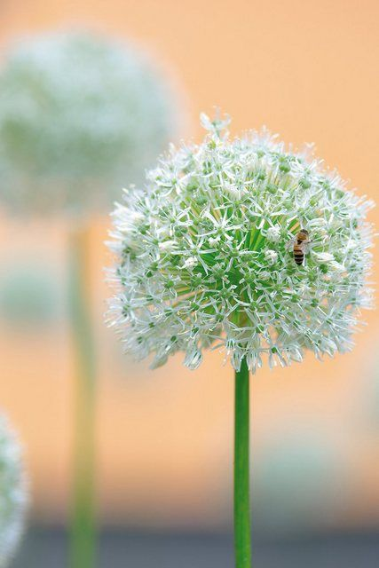 Photo of Artland Wandfolie »Tanja Riedel: Großer Allium in Pastell« online kaufen | OTTO