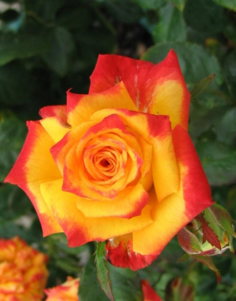 Hedging Rose Floribunda Model Of Perfection 175mm Pot Dawsons Garden World Rose Beautiful Roses Types Of Roses