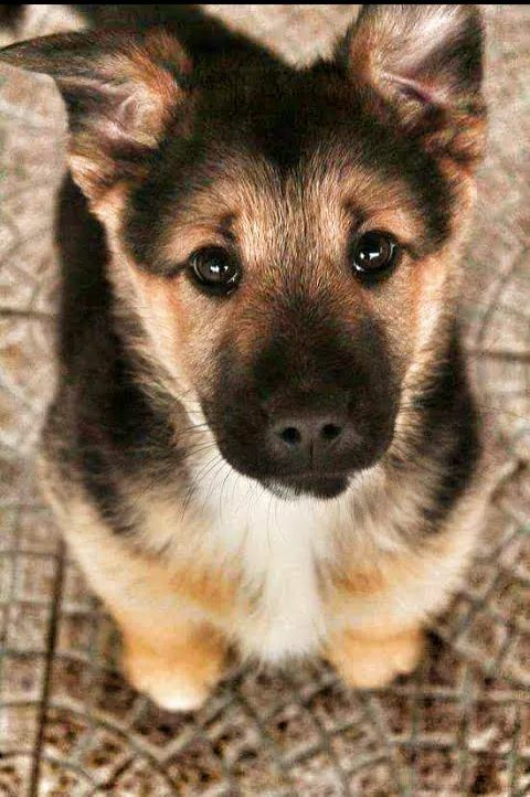 Pin By Austin Verner On Dogs Puppies Cute Animals Shepherd Puppies