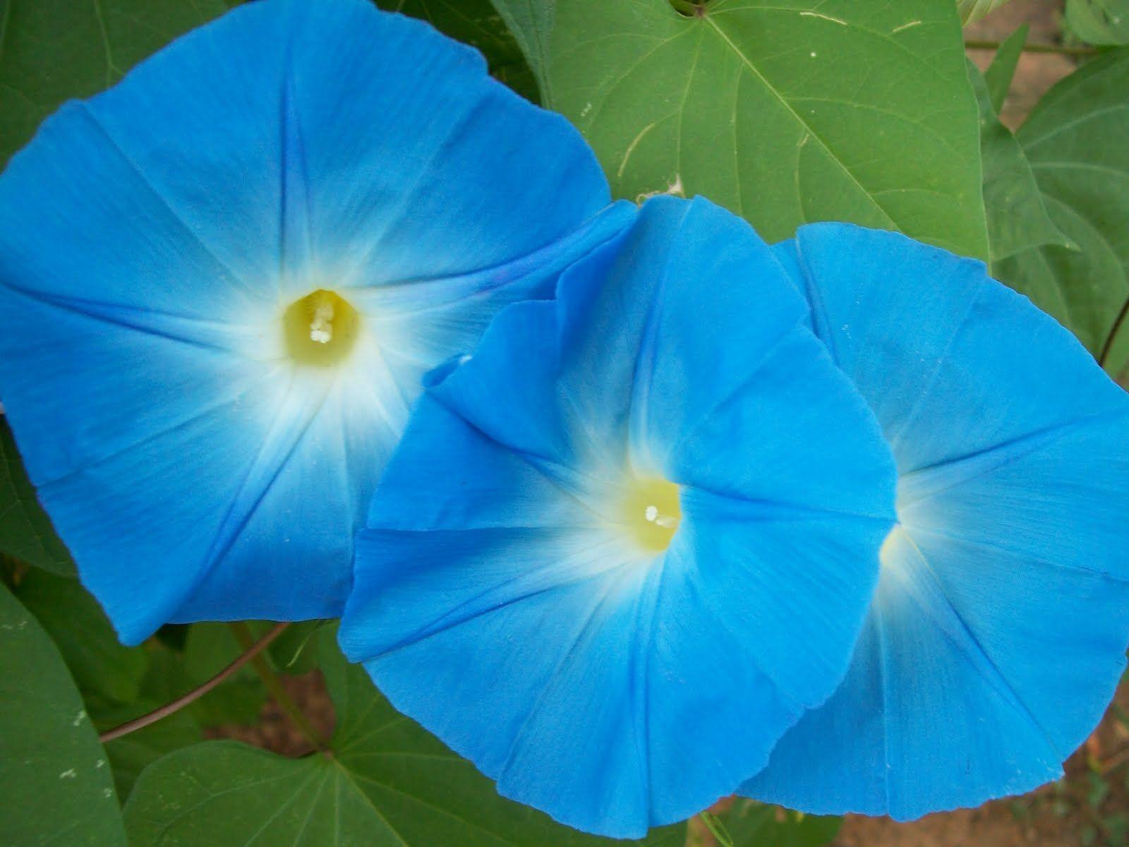 Blue Moonflower Blue Moon Flower For Jill In Bouquet Flowers