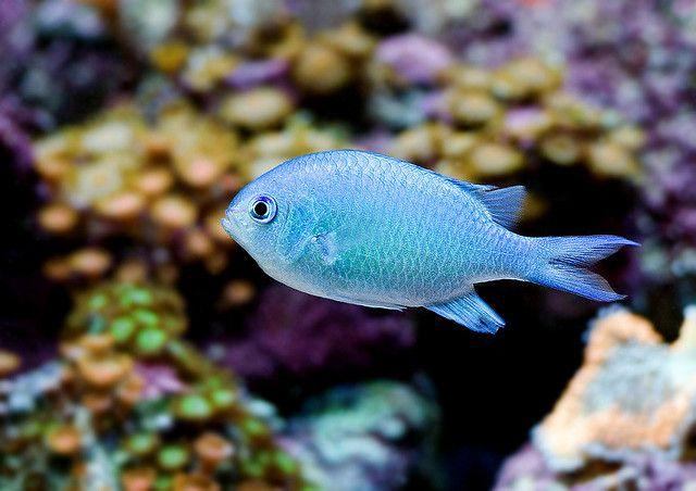 Blue Green Chromis Pet Fish Saltwater Tank Ocean Fishing