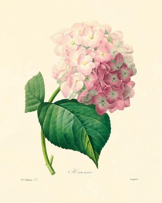 Wall Art Prints antique hydrangea botanical prints vintage prints garden wall art