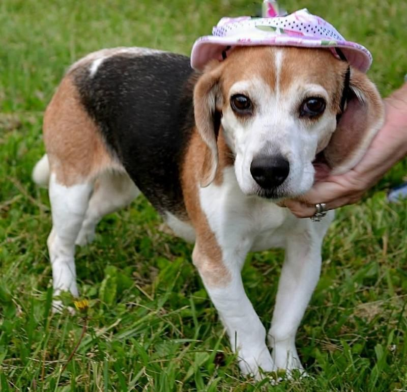 Searching Petfinder Adoptable Indiana Forever Family Beagle Adopt Babe Near Find Pets Your Area Adoptable Beagle Pet Finder Beagle Dog