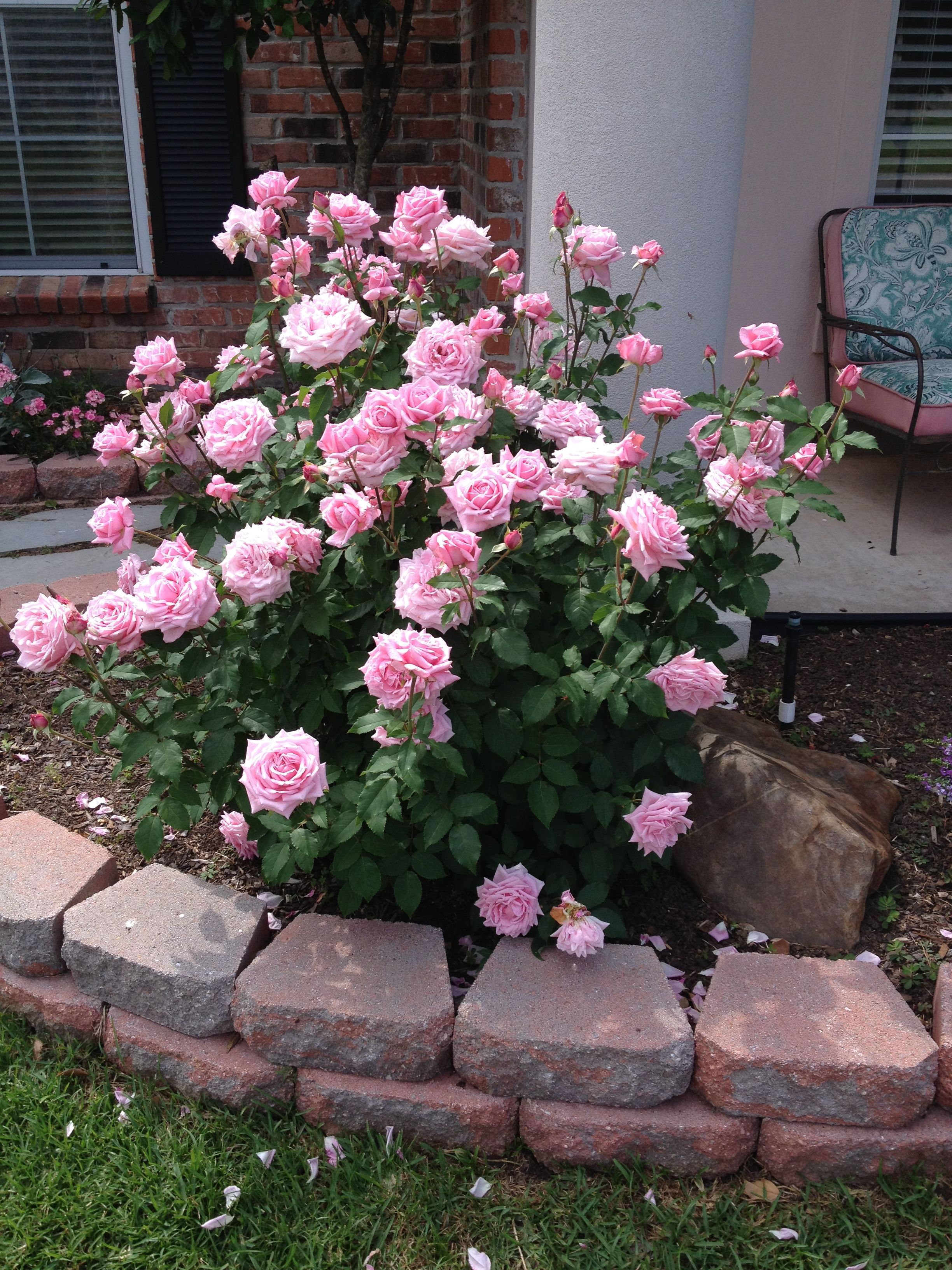 My husbands rose bush Belindas Dream loves to bloom and smells