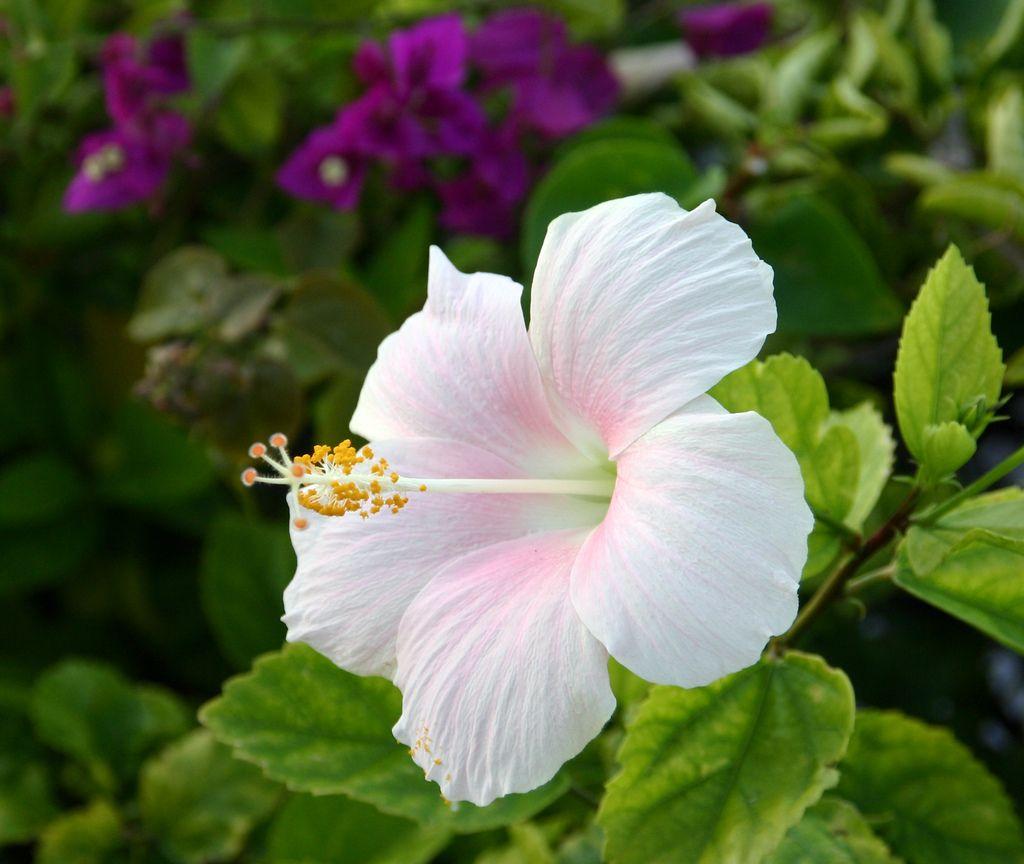 Hibiscus From Nassau Bahamas Hibiscus Flowers Lovely Flowers Wallpaper Heat Tolerant Flowers