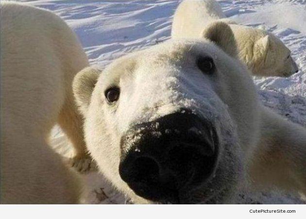 Close up Polar Bear