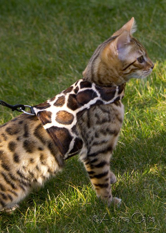 Bengal cats will anxiously go on walks using harness