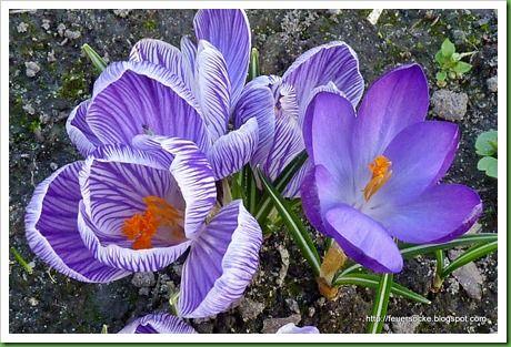amo flor azul