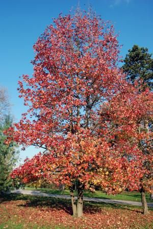 Facts And Pretty Images Of The Sweet Gum Tree With Images