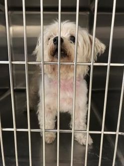 Greensboro Nc Maltese Mix Meet Snowbelle A Dog For Adoption