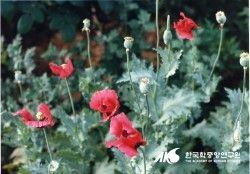 양귀비 양귀비과에 속하는 이년생 초본식물. 앵속, 어미, 상곡, 미낭, 낭자 등이라 하기도 하며 학명은 Papaver somniferum L. 이다. 동부유럽이 원산지로 줄기의 높이는 50-150㎝이고 전체에 털이 없다. 꽃은 5-6월에 피며, 열매의 유액을 모아 아편을 만드는데 효능은 중추신경계통에 작용하며 진통, 진정작용이 뛰어나다. [네이버 지식백과] 양귀비 [楊貴妃] (한국민족문화대백과, 한국학중앙연구원)