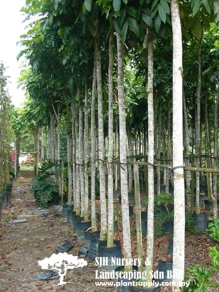 Trees Tropical Tree Wholesale Plant Nursery Wholesale Plants