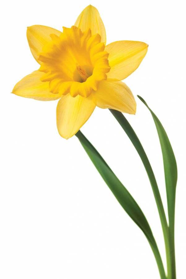 Daffodil Daffodils Yellow Daffodils Birth Month Flowers