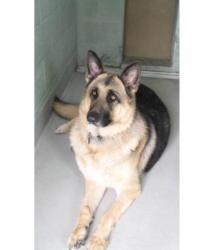 Adopt 1018163 Sam On Urgent Animal Adoptions Rescue Animals