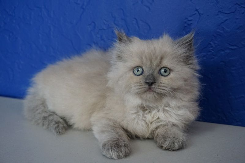 Himalayan Kittens For Sale Near Me