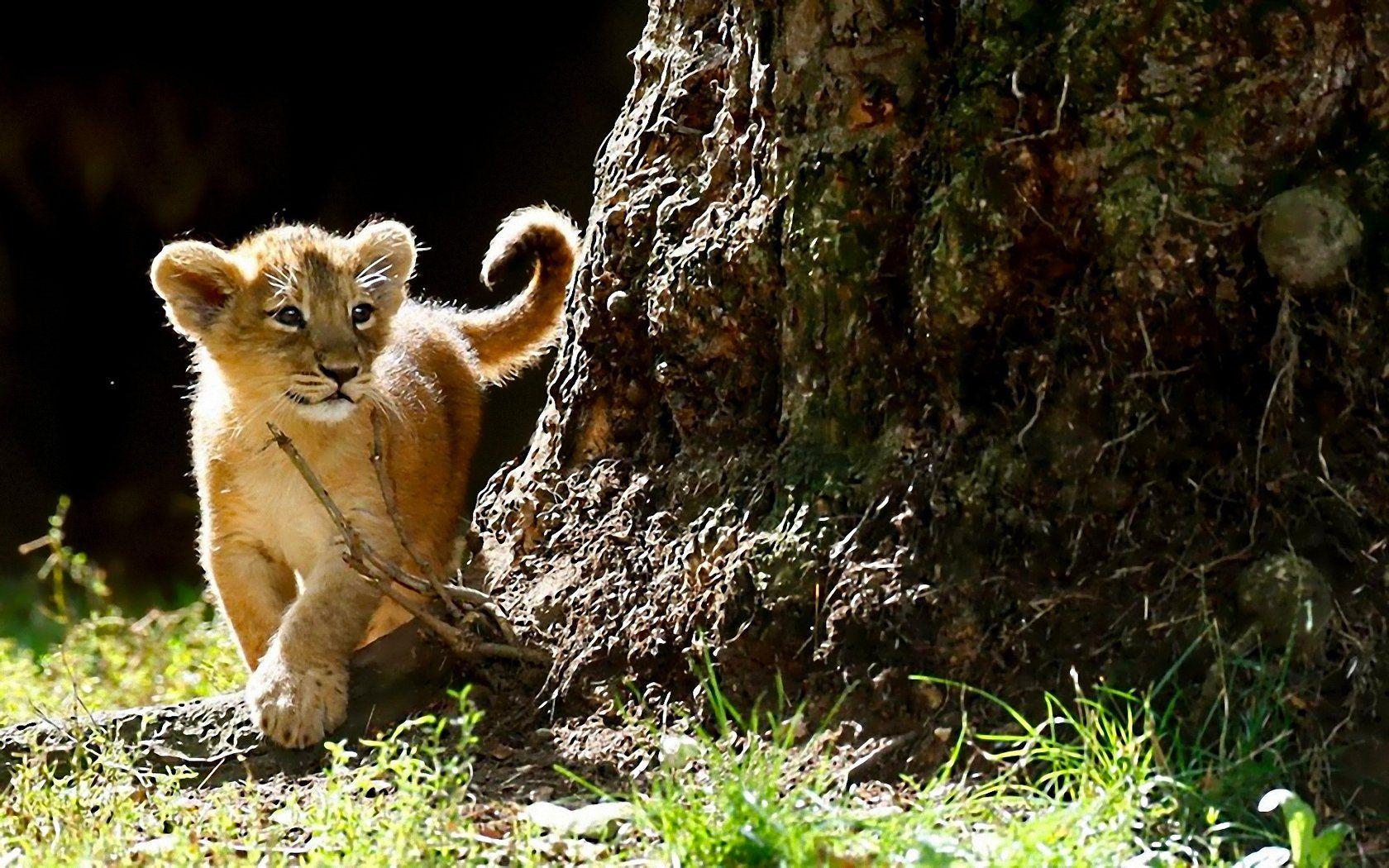 Cute Lion Cubs Wallpaper Www Topsimages Com