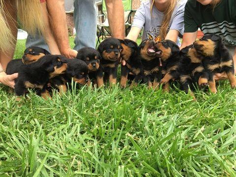 Litter Of 9 Rottweiler Puppies For Sale In Jasper Mo Adn 32516